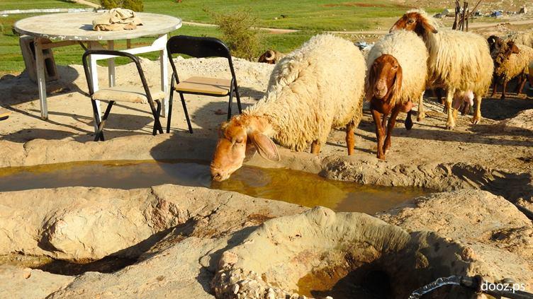 من الثروة الحيوانية شرق نابلس